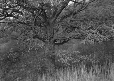 17. Oak Tree, Holmdel, NJ, 1970