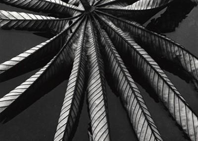 Brett Weston, Leaf on Asphalt Hawaii  1978