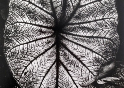 Brett Weston, leaves  1979